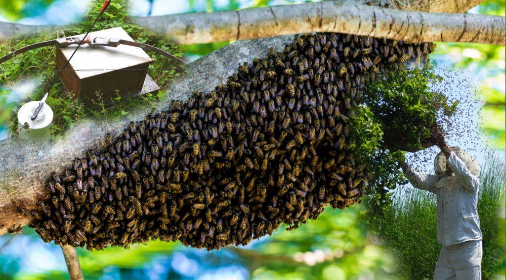 Schwarmfang von Bienenschwärmen in und um Chemnitz