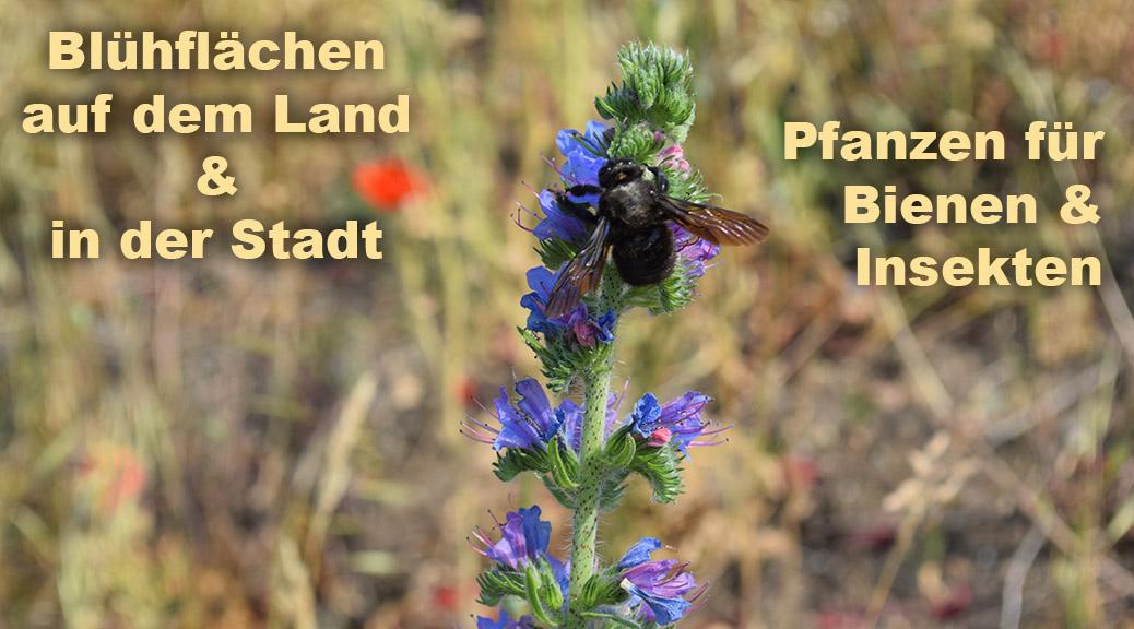 Blühfläche mit Phacelia und Hummel