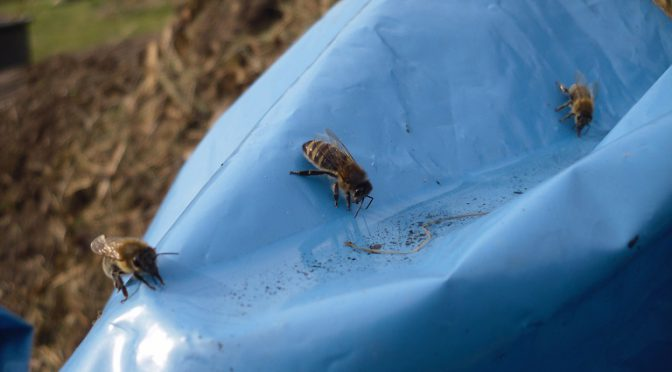 Bienen an ungewöhnlicher Tränke